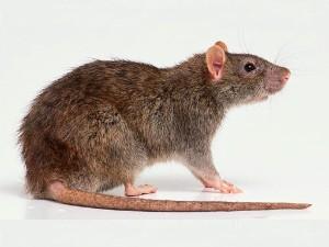 Rata gris o de alcantarilla