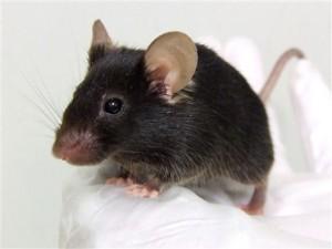 Rata negra o rata común