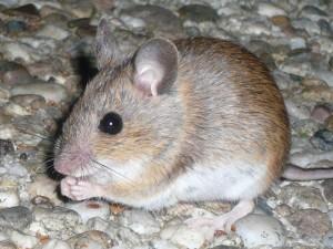 Ratón doméstico o ratón común